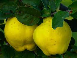 Fruit Name - Quince fruit