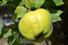 Fruit Name - quince